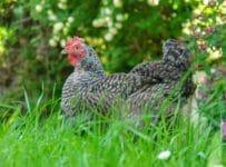 élever des poulets heureux