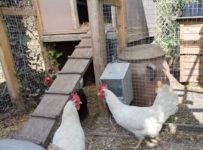 poulailler-poules