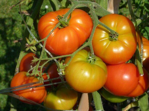 tomate potager